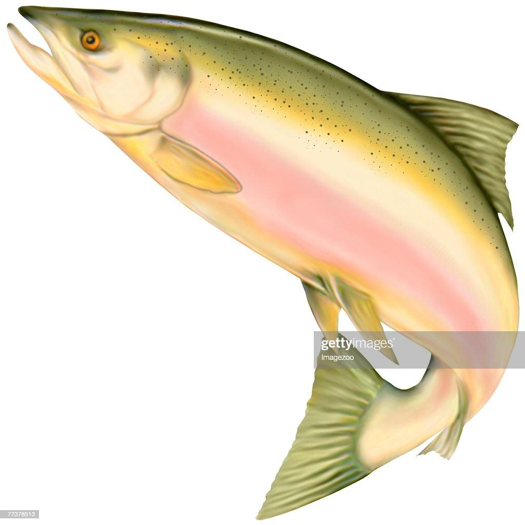 salmon : Stock-Illustration