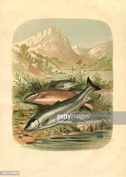 Salmon trout fish engraving 1881