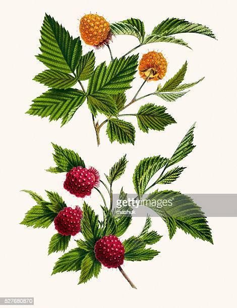 salmonberry 19th century illustration - raspberry stock illustrations, clip art, cartoons, & icons