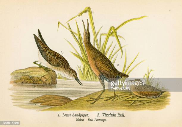 sandpiper and rail bird lithograph 1890 - quail bird stock illustrations, clip art, cartoons, & icons