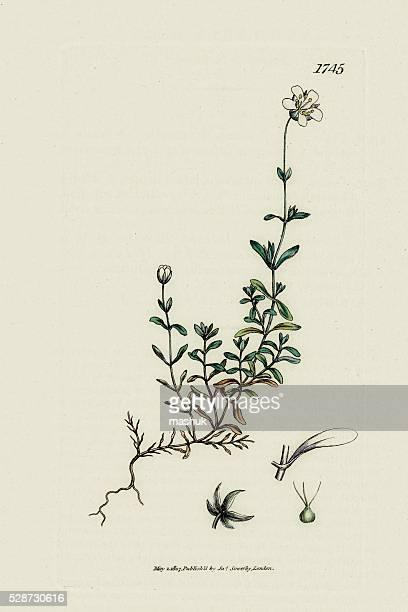 ilustraciones, imágenes clip art, dibujos animados e iconos de stock de arenaria planta médicos utilizados por indios americanos - animal vertebrado
