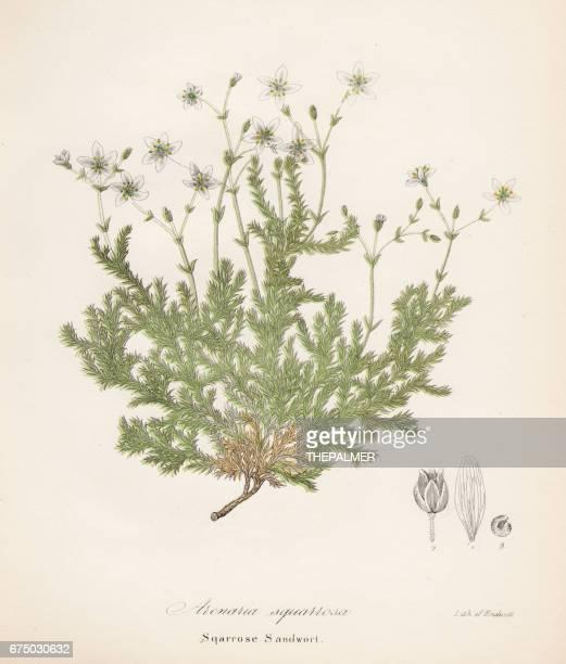 sandwort plant botanical engraving 1843 - sandwort stock illustrations, clip art, cartoons, & icons