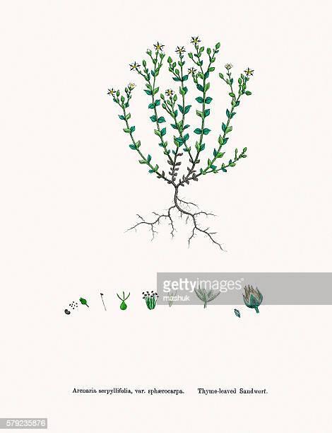 sandwort plant - sandwort stock illustrations, clip art, cartoons, & icons