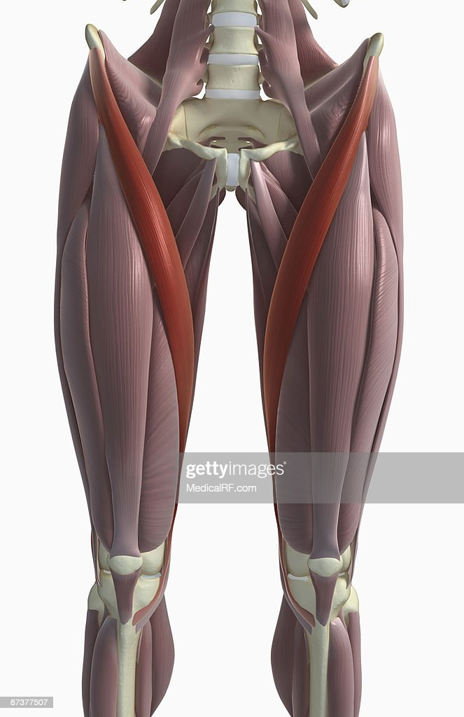 Sartorius Muscle Stock Illustration Getty Images