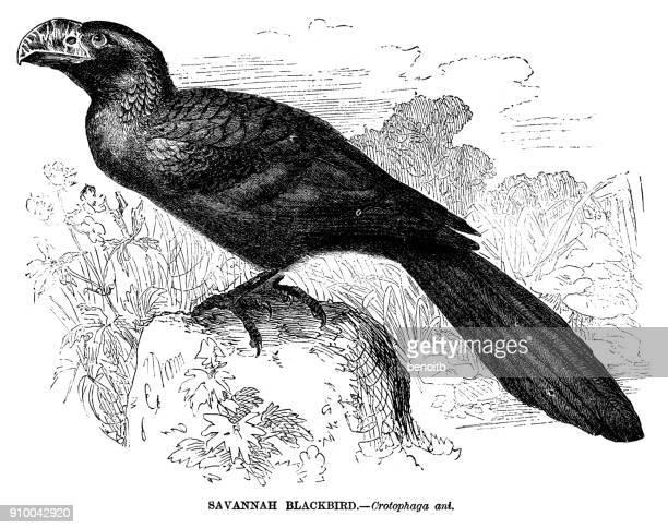 Savannah blackbird