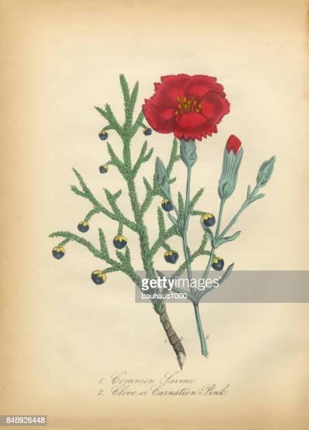 savine and clove or carnation victorian botanical illustration - carnation flower stock illustrations, clip art, cartoons, & icons