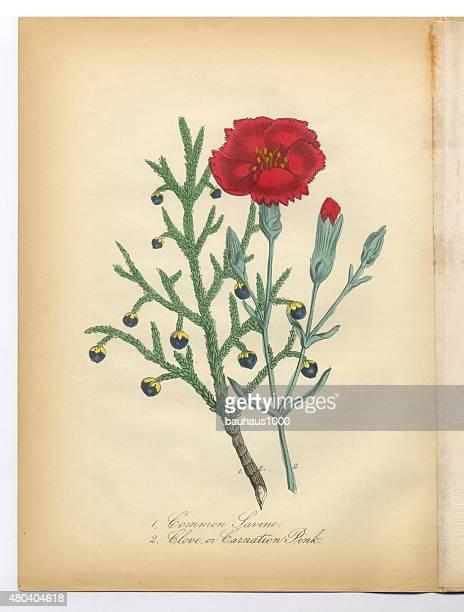 savine, clove and pink carnation victorian botanical illustration - carnation flower stock illustrations, clip art, cartoons, & icons