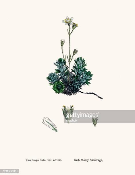 Saxífraga Planta de medicamentos contra a doença de coração, edema, tosse, diuréticos