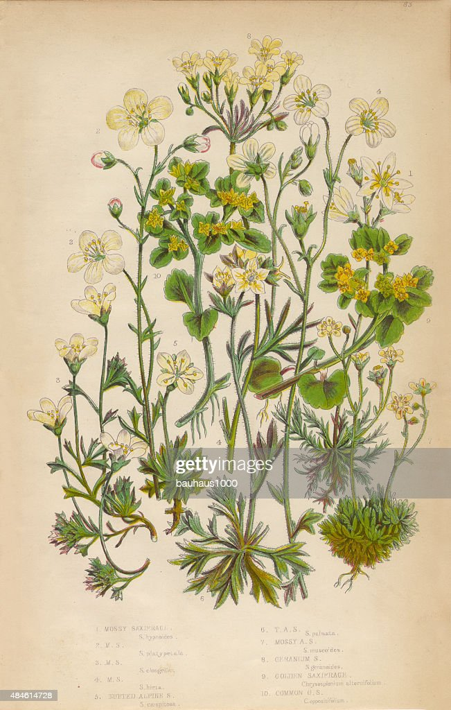 Saxifrage Saxifraga Rockfoil And Succulent Victorian Botanical Illustration Stock