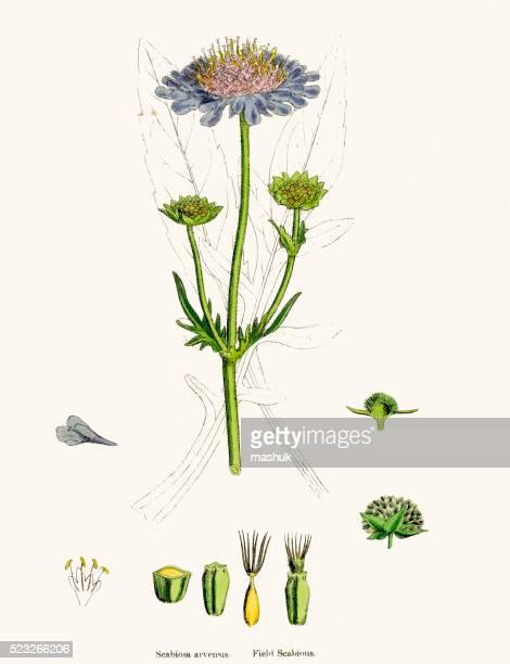 Scabiosa plant scientific illustration
