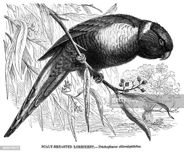 illustrations, cliparts, dessins animés et icônes de skalpell - perroquet