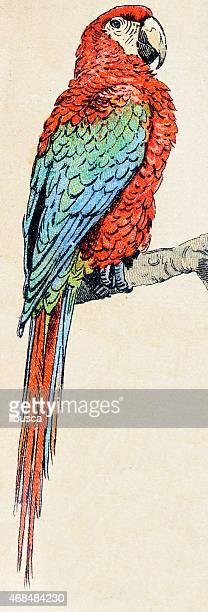 Ara rouge, oiseaux animaux ilustration antique