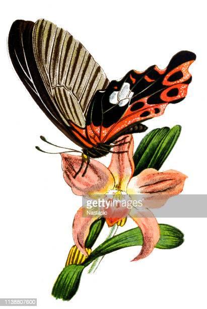 Scarlet Mormon, swallowtail butterfly (Papilio rumanzovia)
