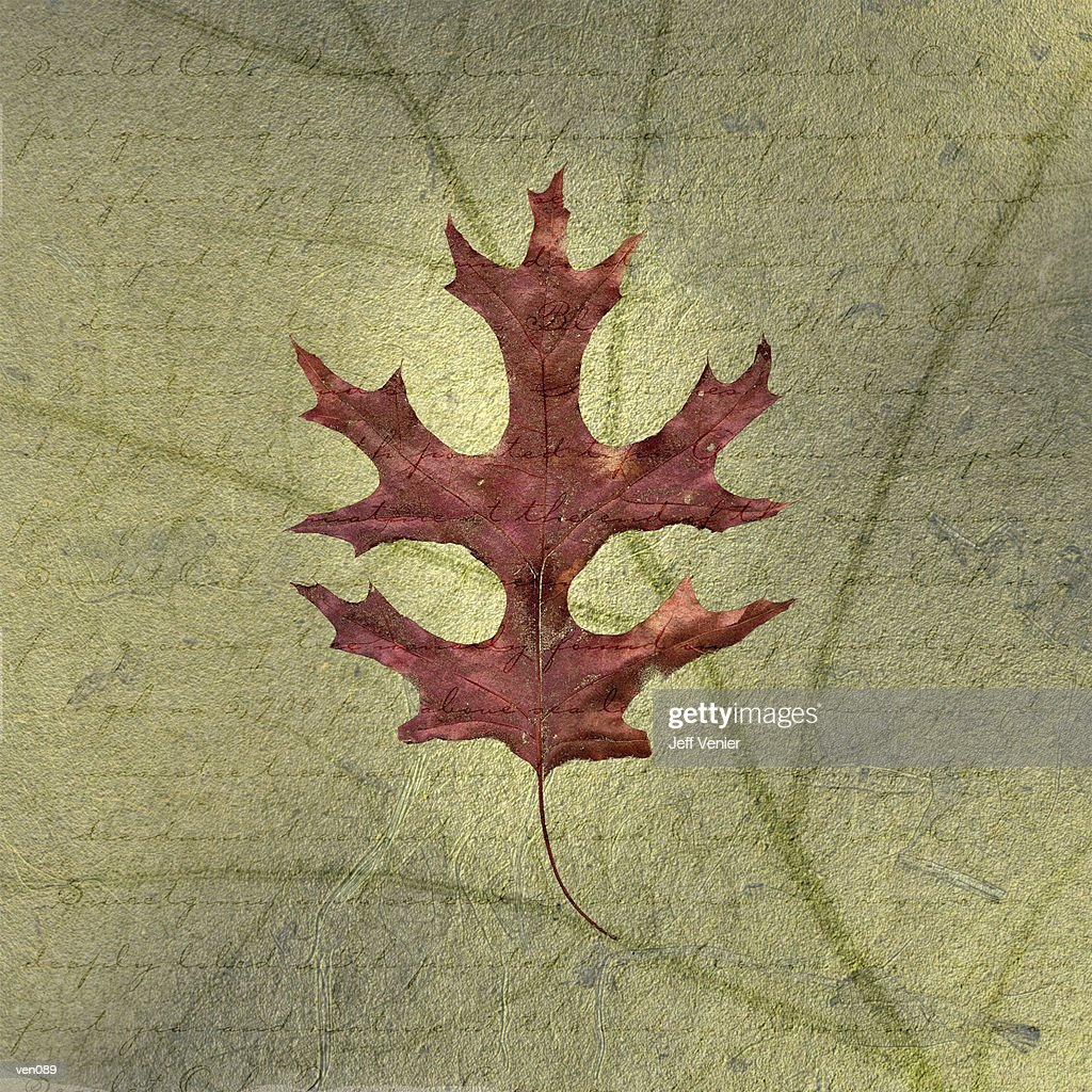 Scarlet Oak Leaf on Descriptive Background : Stock Illustration