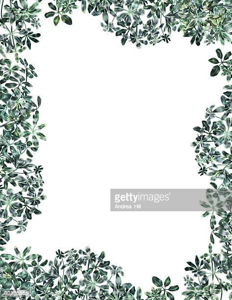 schefflera border - queensland umbrella tree stock illustrations