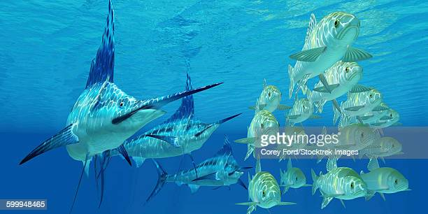 A school of Ayu fish try to escape from three carnivorous Blue Marlins.