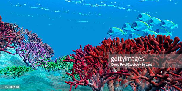 A school of iridescent Blue Tango fish swim over brightly colored red coral beds on an ocean reef.