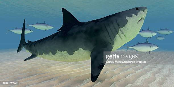 a school of swift swimming bluefin tuna fish provoke the curiosity of a great white shark. - great white shark stock illustrations, clip art, cartoons, & icons