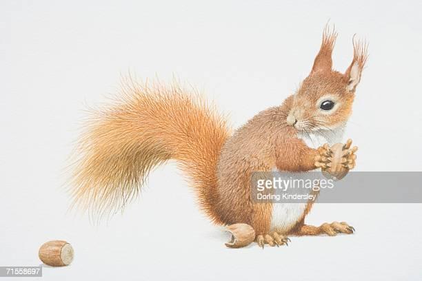 sciurus vulgaris, red squirrel holding nut. - squirrel stock illustrations