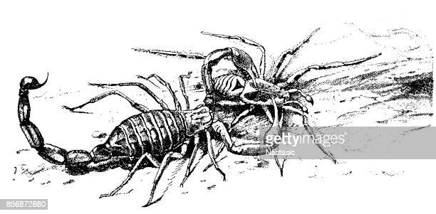 scorpion and spider fighting - black widow spider stock illustrations, clip art, cartoons, & icons