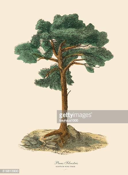 Scotch Pine Tree or Pinus Silvetris, Victorian Botanical Illustration