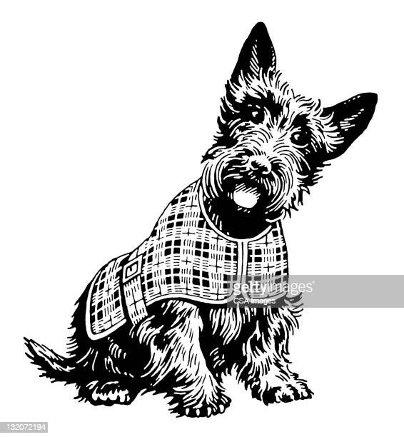 Scottish Terrier in Plaid Coat