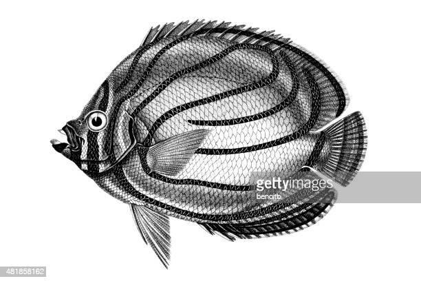 scrawled butterflyfish - butterflyfish stock illustrations, clip art, cartoons, & icons