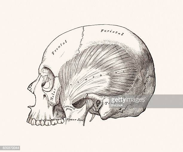 scull, 19 century medical illustration - neurosurgery stock illustrations, clip art, cartoons, & icons
