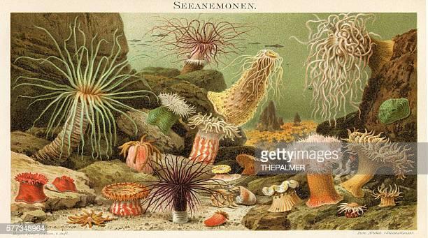 Sea anemone illustration 1897