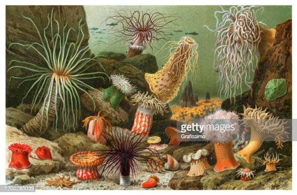 sea anemone marine tier illustration - mariner lebensraum stock-grafiken, -clipart, -cartoons und -symbole