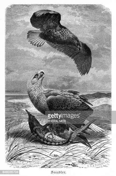 Sea Eagle engraving 1892