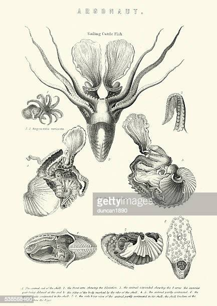 Sea Life - Argonaut - Cuttle Fish