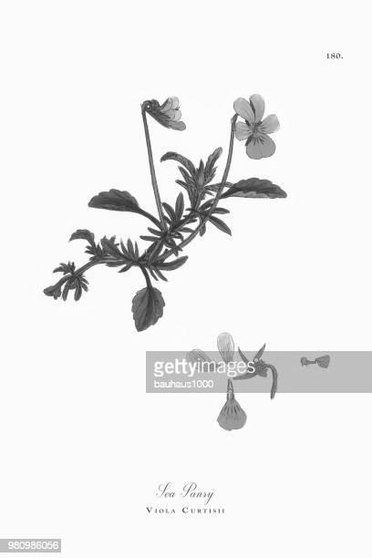 sea pansy, viola curtisii, victorian botanical illustration, 1863 - plant bulb stock illustrations, clip art, cartoons, & icons