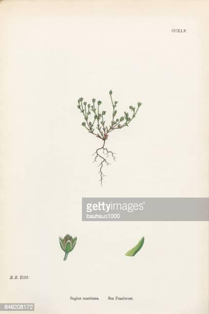 sea pearlwort, sagina maritima, victorian botanical illustration, 1863 - sandwort stock illustrations, clip art, cartoons, & icons