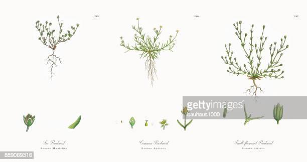 ilustrações, clipart, desenhos animados e ícones de mar pearlwort, sagina maritima, ilustração botânica vitoriana, 1863 - chickweed