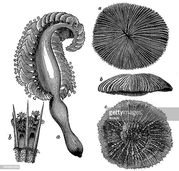 sea pen (pennatula rubra) - sea pen stock illustrations