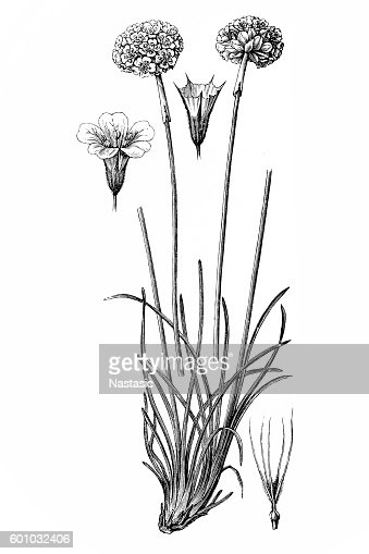 Sea pink flower stock illustration getty images mightylinksfo Image collections