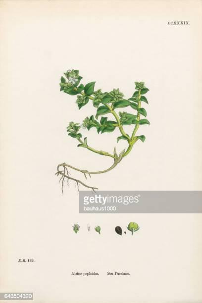 sea purslane, alsine peploides, victorian botanical illustration, 1863 - sandwort stock illustrations, clip art, cartoons, & icons