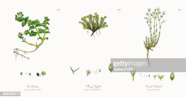ilustrações, clipart, desenhos animados e ícones de mar purslane, alsine peploides, ilustração botânica vitoriana, 1863 - chickweed