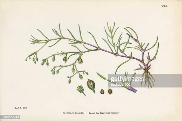 sea sandwort, spergularia neglecta, victorian botanical illustration, 1863 - sandwort stock illustrations, clip art, cartoons, & icons