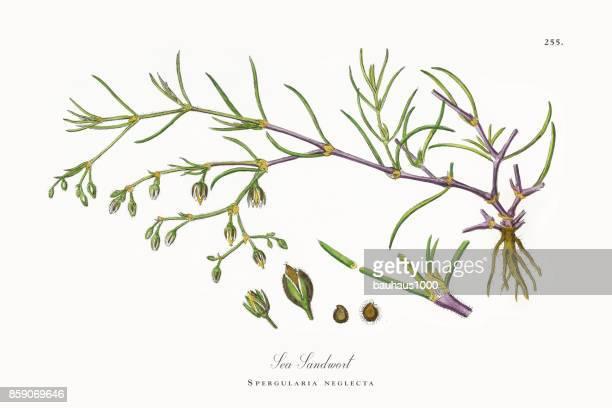 ilustrações, clipart, desenhos animados e ícones de mar sandwort, spergularia neglecta, ilustração botânica vitoriana, 1863 - chickweed