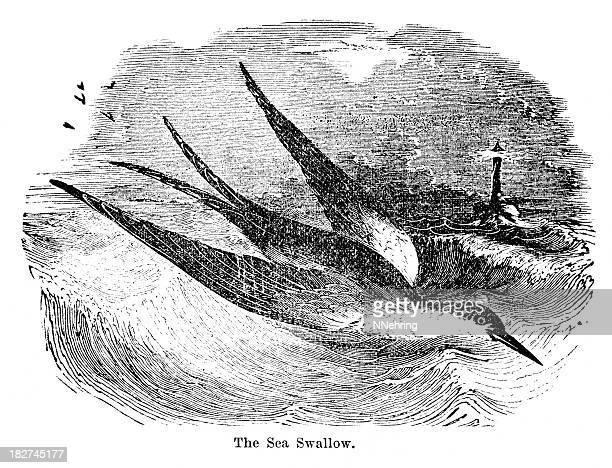 Andorinha-do-mar
