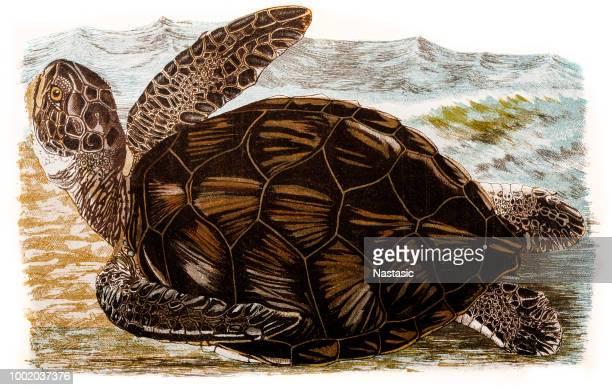 ilustrações, clipart, desenhos animados e ícones de tartaruga-marinha - organismo aquático