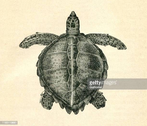 sea turtle ( chelonia mydas ) illustration - graphic print stock illustrations