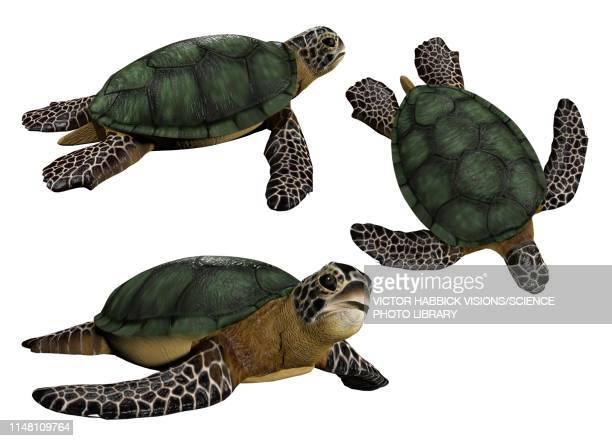 sea turtles, illustration - sea turtle stock illustrations