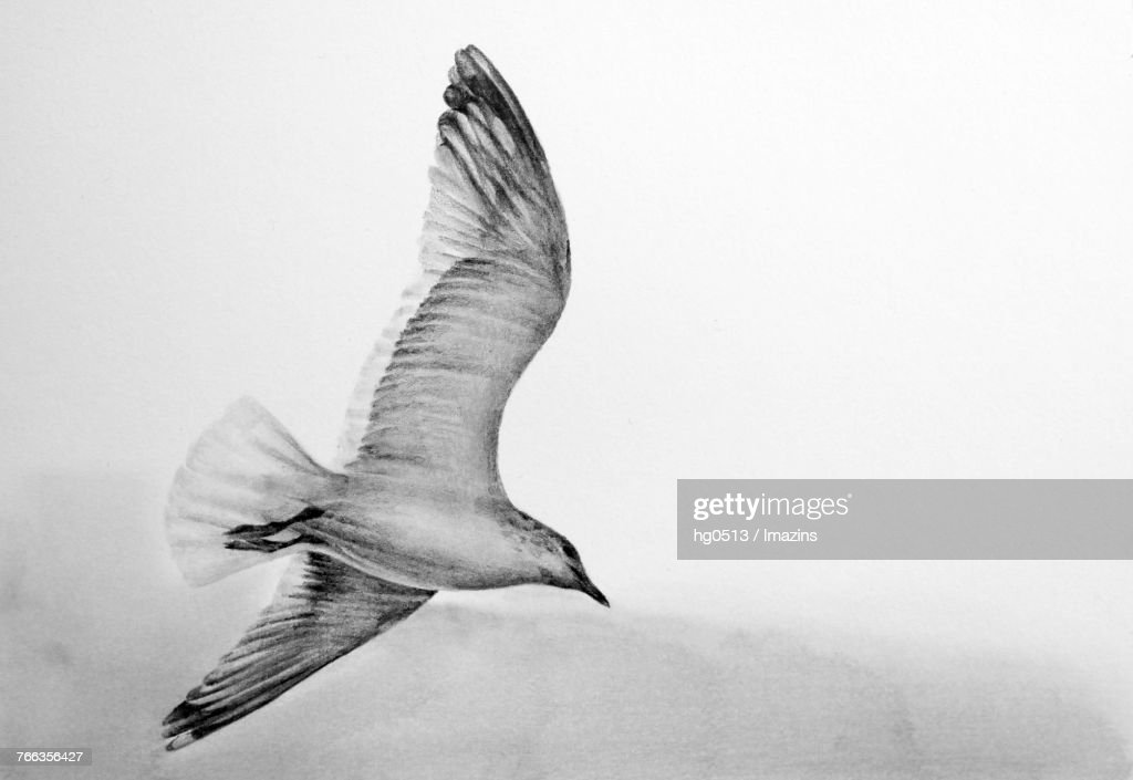 Seagull pencil drawing : stock illustration