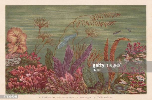 seaweed, chromolithograph, published in 1894 - chromolithograph stock illustrations
