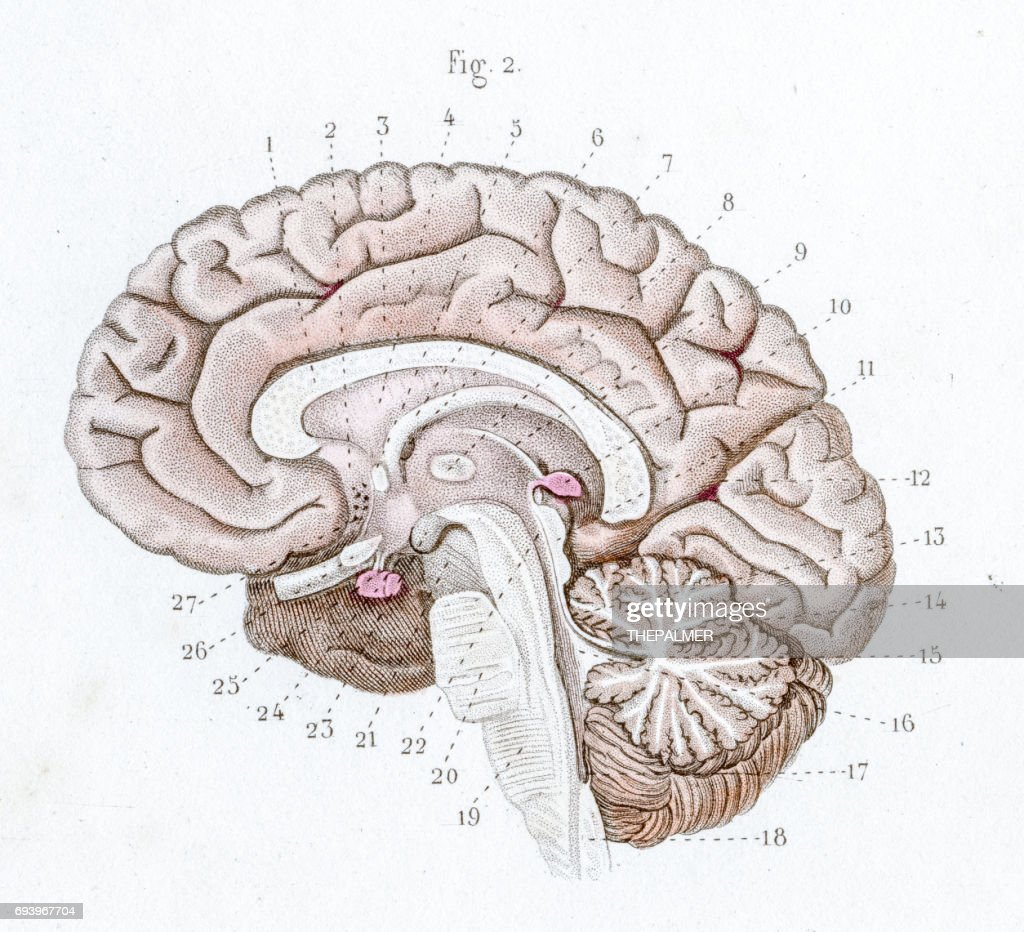 Section Of The Brain Anatomy Engraving 1886 Stock Illustration ...