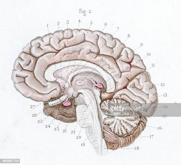 section of the brain anatomy engraving 1886 - diencephalon stock illustrations, clip art, cartoons, & icons