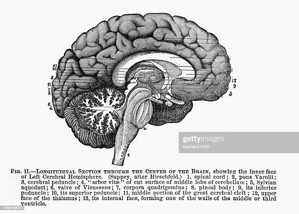 Section Through the Center of the Brain Engraved Illustration, 1880 : stock illustration